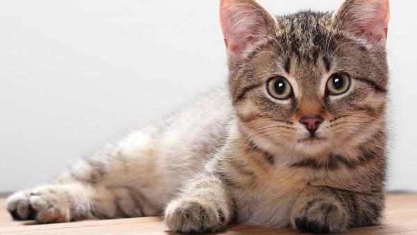 Стерилизация кошки и послеоперационный уход